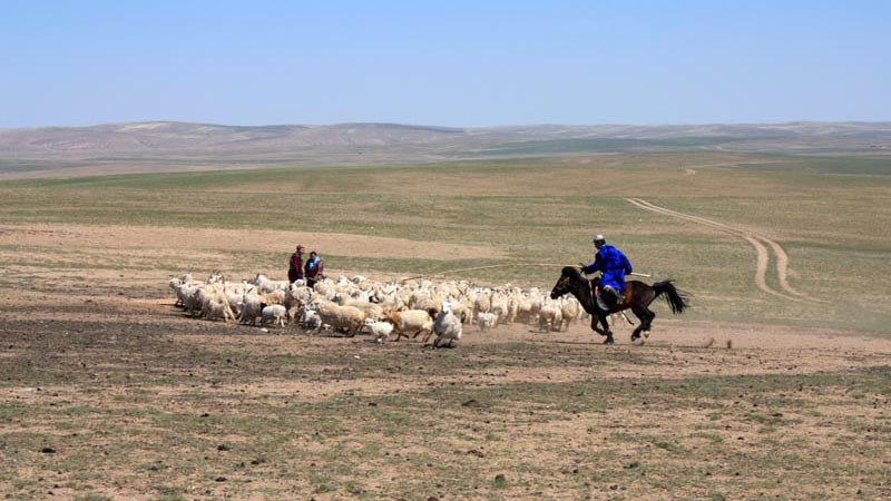 Ujim Qi - the grasslands, Aotegenbayaar\'s brother chases a sheep